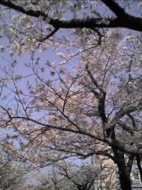Cherry%20Blossoms_resize.jpg